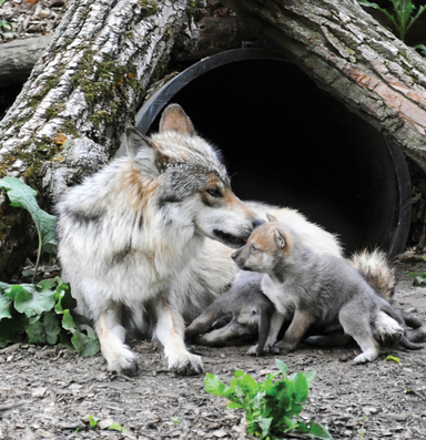 West Obsessed: Genetics and the plight of Mexican wolves