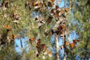 Western monarch butterflies get a closer look