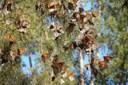 Western monarch butterflies get a closer look