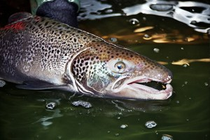 Fishy reasons behind big Atlantic salmon escape