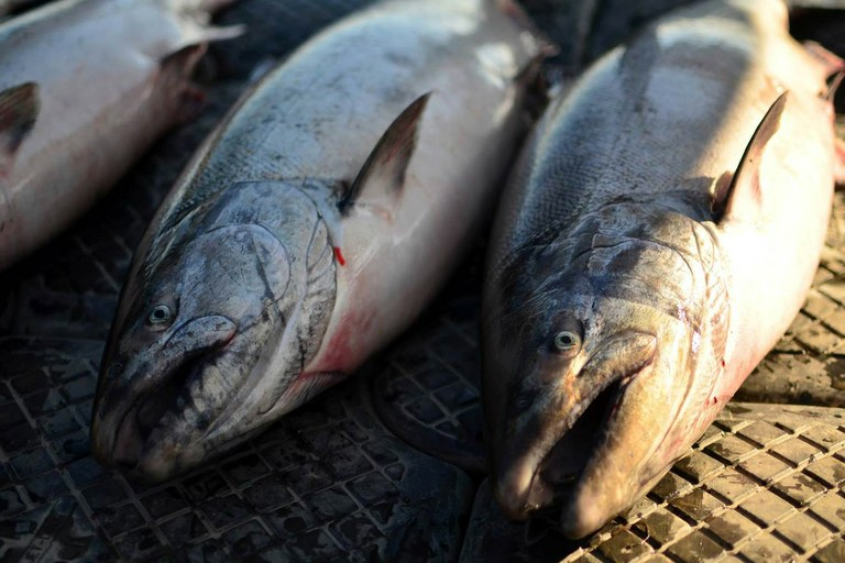 Chinook salmon numbers in the Yukon River have been in decline since 1998.