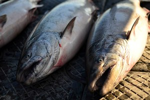 What's killing the Yukon's salmon?
