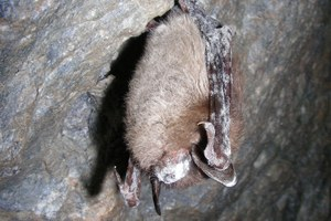 White-nose syndrome comes to the West