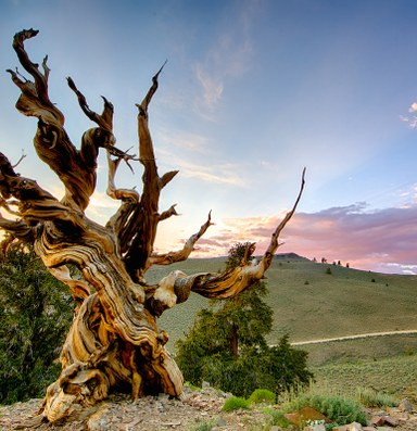 Why a scientist cut down 'the oldest living tree'