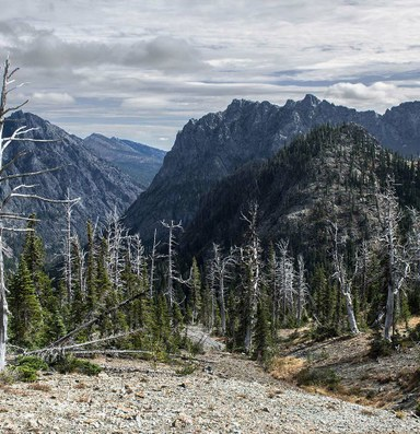 Why the Endangered Species Act can't save whitebark pines