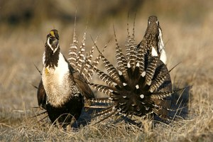 Wild Science: Counting Gunnison sage grouse