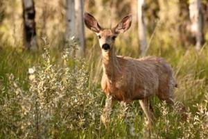 Wild Science: Netting mule deer in western Colorado