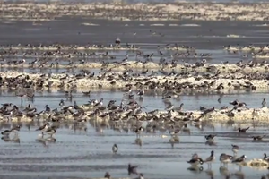 Wild Science: Migratory birds on the Great Salt Lake