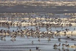 Wild Science: Migratory birds on the Great Salt Lake