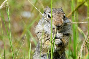 Wild Science: Is climate change helping the Uinta ground squirrel?