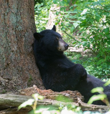 A really strong net helps save Puget Sound's black bears
