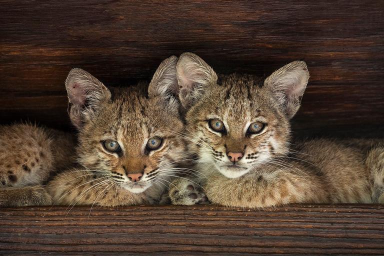 Bobcats persevere despite human encroachment