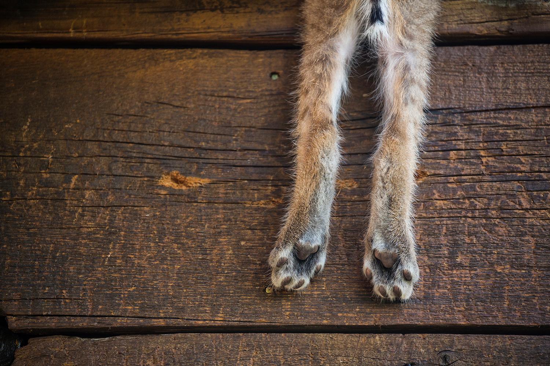 Bobcats persevere despite human encroachment — High Country News