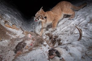 Hidden camera traps capture wildlife in Wyoming