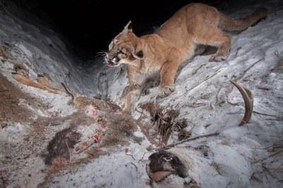 Hidden camera traps capture wildlife in Wyoming