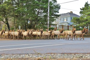 Elk run the show on Oregon's north coast