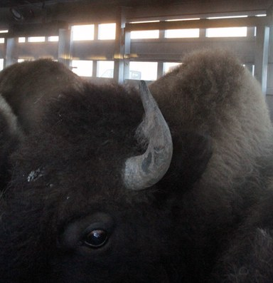 Judge: Agency cherrypicked science for bison management