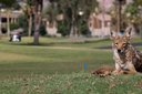 Growing urban coyote populations are feasting on pets
