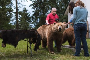 Influx of grizzly bears compels Montanans to adapt