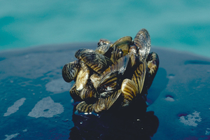 Invasive mussels in aquarium supplies alarm wildlife managers