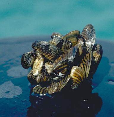 Invasive mussels in aquarium supplies alarm wildlife managers