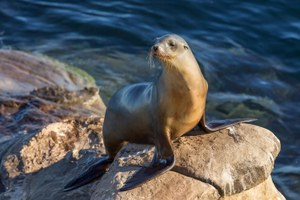 What caused mass die-offs of sea lion pups?