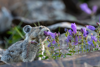Pikas are adapting to climate change