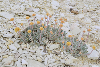 Rare Nevada wildflower diminished by 40% in one weekend