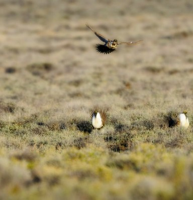 The West's iconic bird is caught up in Trump's energy plans