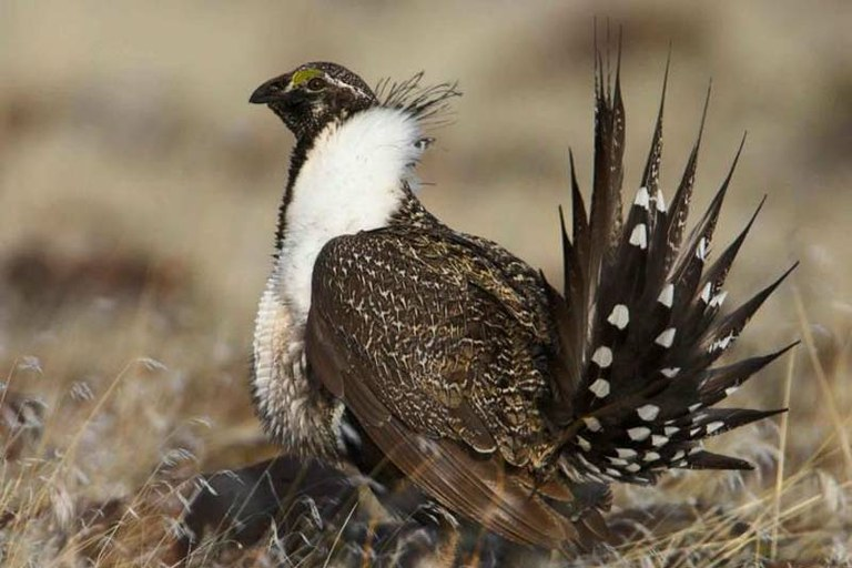 Will Zinke undo protections for the West's most iconic bird?