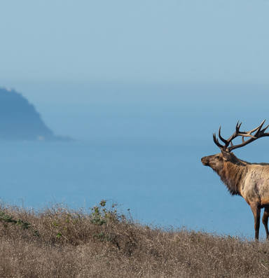 The battle over Point Reyes' tule elk