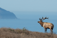 The battle over Point Reyes' tule elk