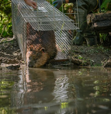 The Tulalip Tribes bet big on beavers