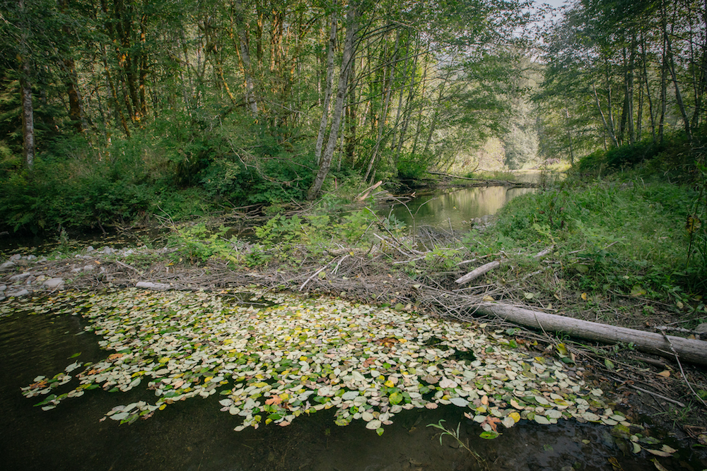 The Tulalip Tribes bet big on beavers — High Country News