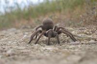 Tinder meets tremors as Western tarantulas look for love