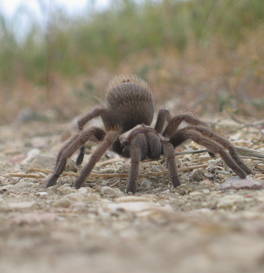 Tinder meets tremors as Western tarantulas look for love