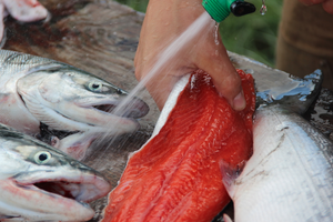 Will GMO salmon harm Alaska's fishing industry?