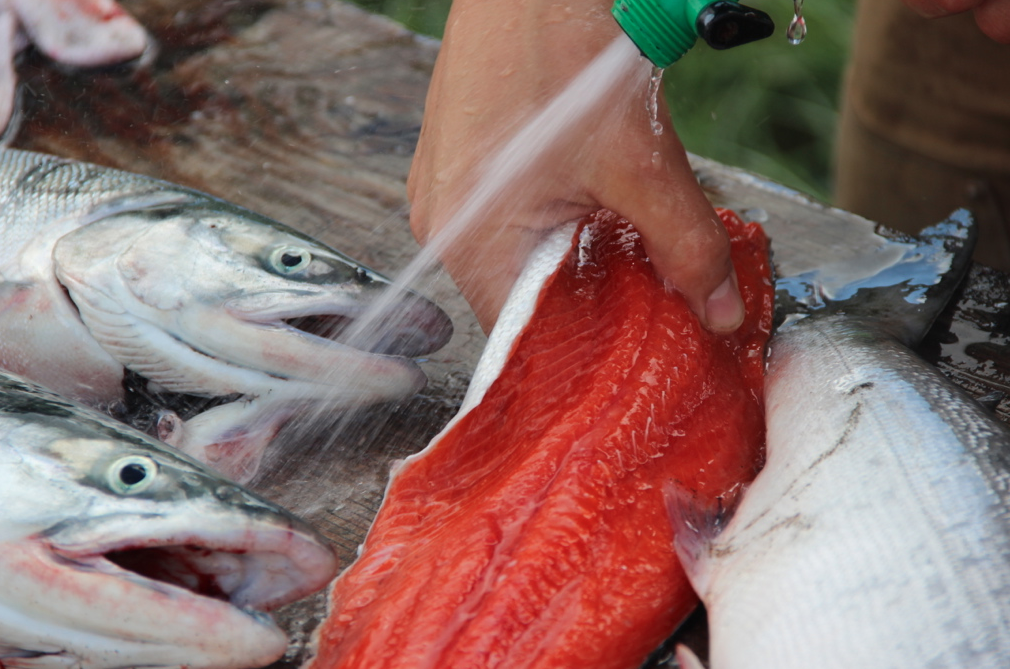 will gmo salmon harm alaska s fishing industry high