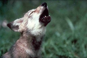 Will endangered species status help the Mexican gray wolf?