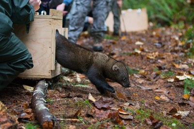 Fishers recolonize Washington, part of a Northwest rewilding