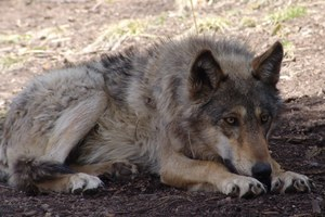 Wolves are already headed for Colorado. Let's make it official.