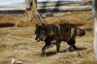 Can wolf reintroduction help stave off chronic wasting disease?