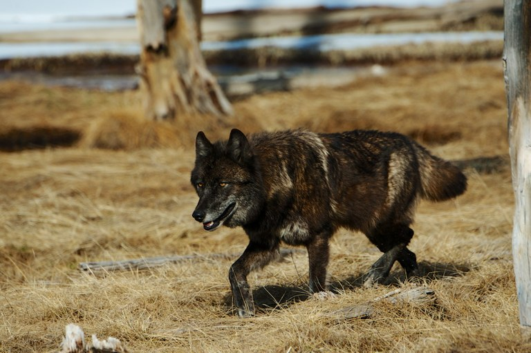 Can wolf reintroduction help stave off chronic wasting