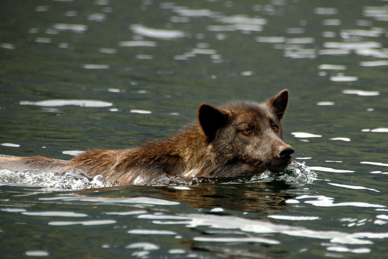 Mixed-ancestry wolves are recolonizing the Pacific Northwest