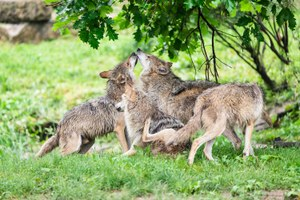 The return of the endangered Mexican wolf