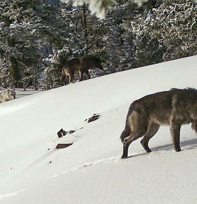 Washington continues to kill wolves that prey on livestock