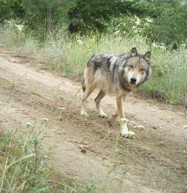 Why the poaching of one gray wolf in Washington matters