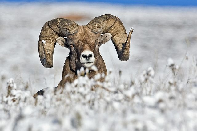 Bighorns in snow