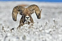 Wyoming grazing dispute threatens bighorn sheep