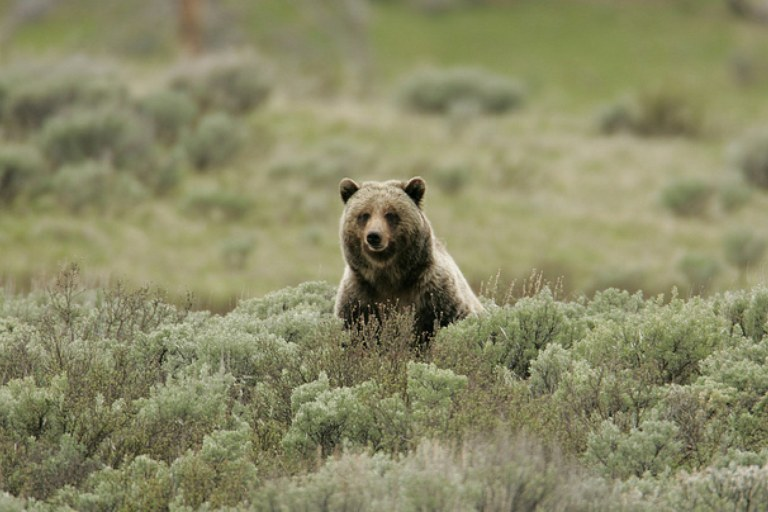 5 things to read about the Yellowstone grizzly delisting